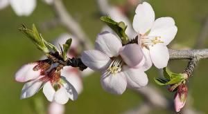 800px-Almond_blossom02_aug_2007 mmmmm