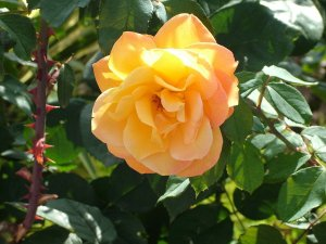 yellow_rose_and_thorns_by_HDDF