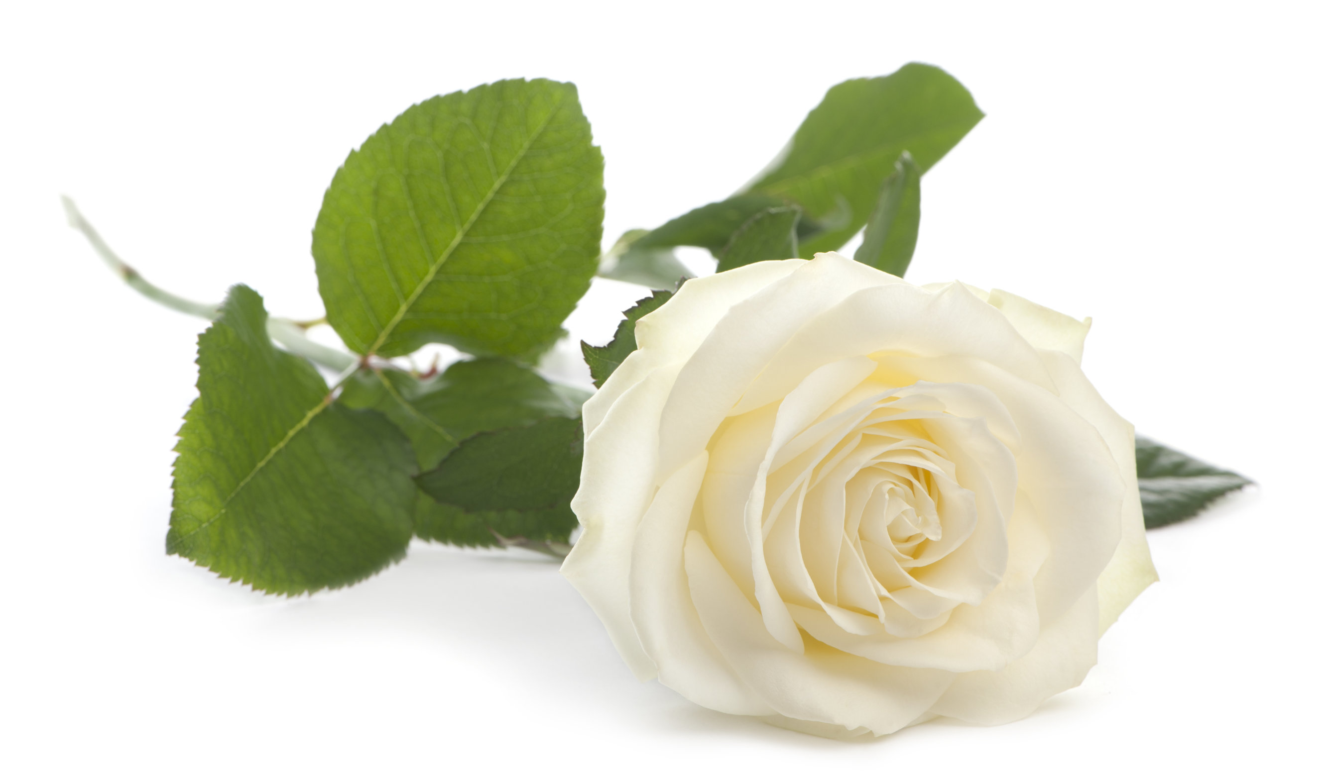 No rose without a thorn essay writer