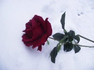 a_rose_in_the_snow_by_tudorxrose-d34540o
