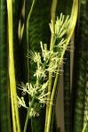 Sansevieria trifasciata's flower