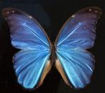 amazon-sur-america-iridiscente-mariposa-exotica_121-67379