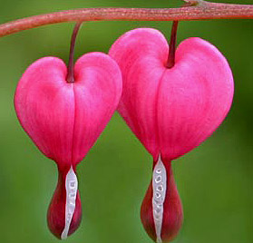 bleedinghearts2