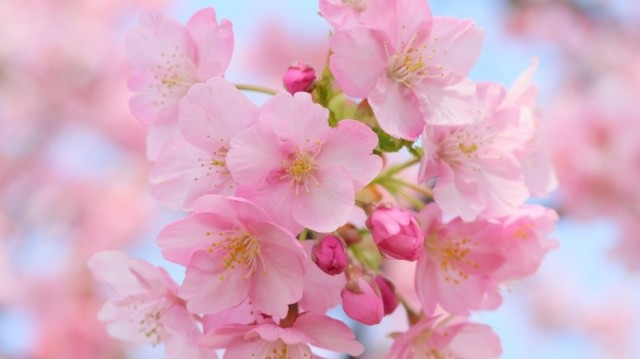 preview_pink-cherry-blossom