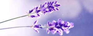 two-lavender-flowers korr