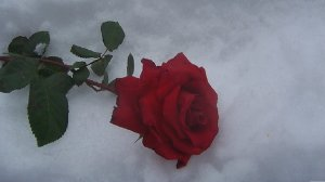 _red-rose-in-snow_p