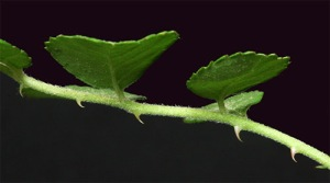 RoseMultifloraThorn02