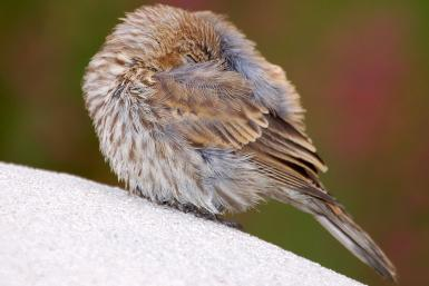sleeping-bird