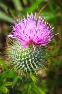 blooming-thistle